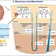 система мочеобразования