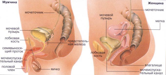 Что входит в мочеполовую систему у женщин 20