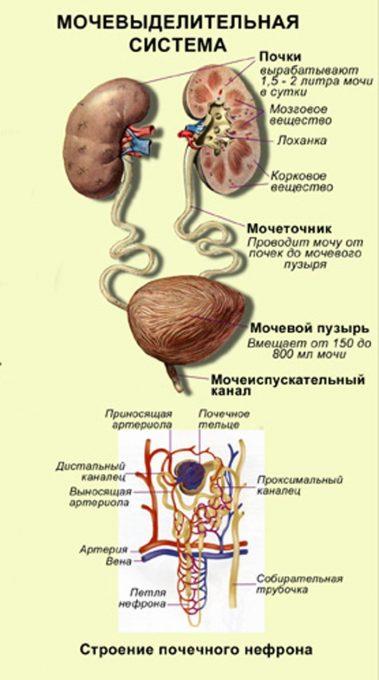 Строение и функции органов выделения человека