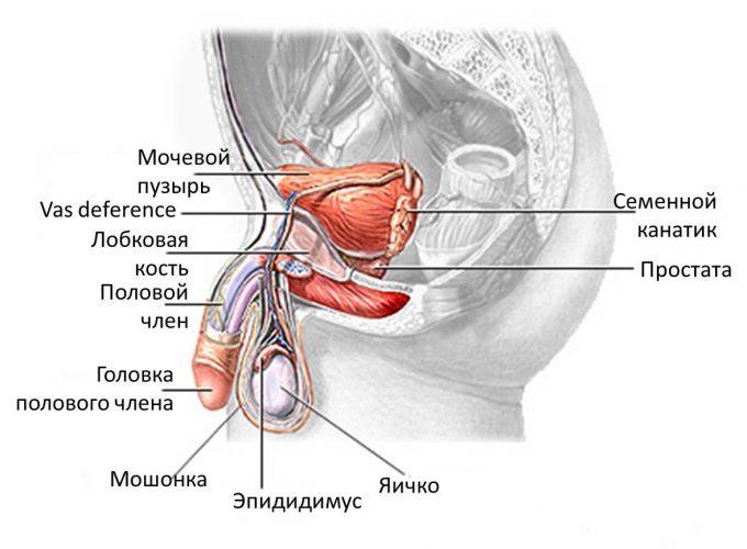 Что входит в мочеполовую систему у женщин 22