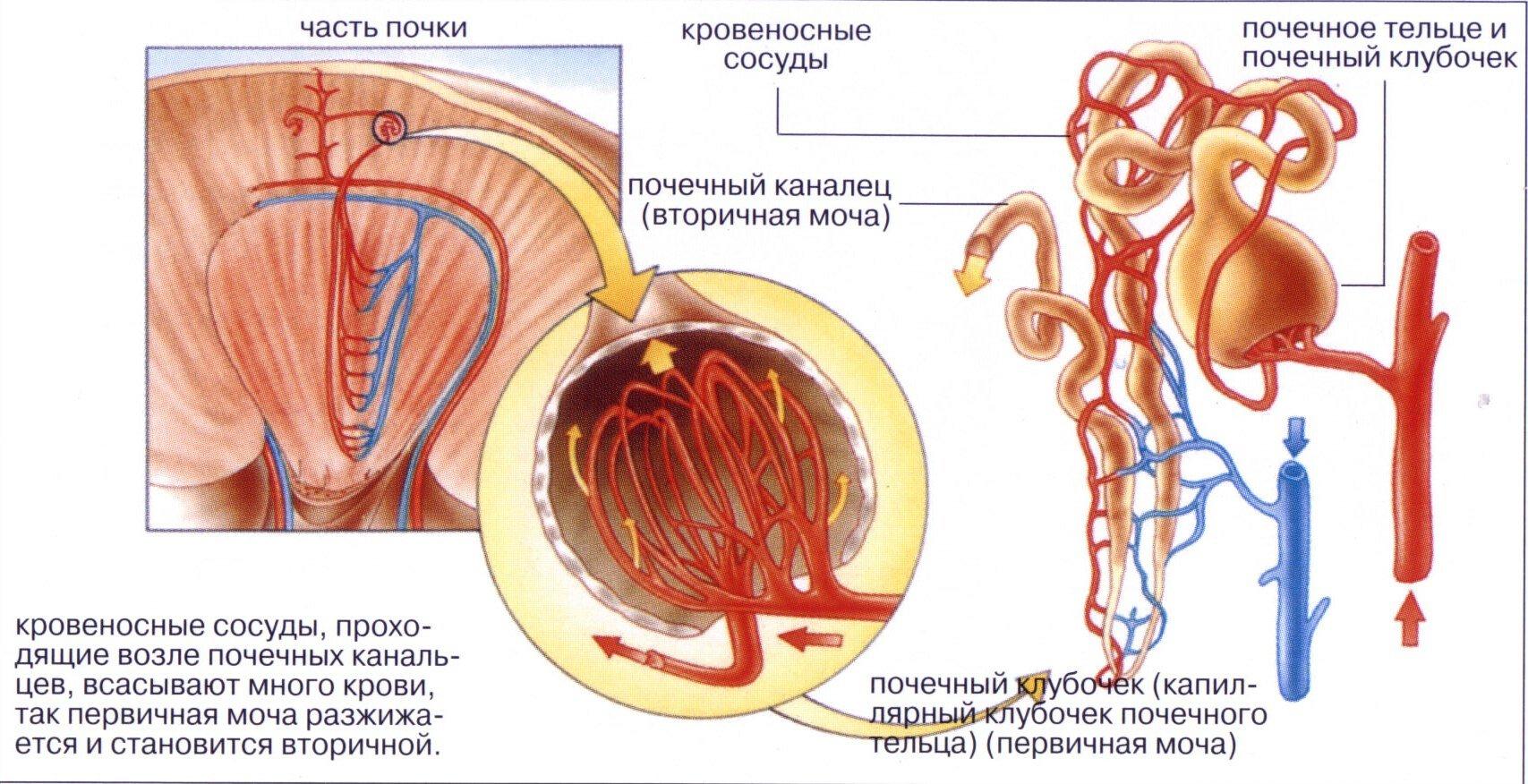 Острый тубулоинтерстициальный нефрит: симптомы и лечение